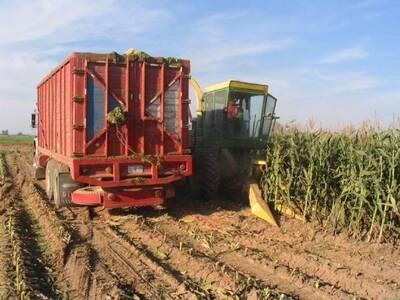 Picado de maíz semi eloteado