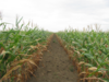 Silaje y almacenamiento de maíz