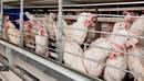 Acidos orgánicos en pollos, parámetros productivos y desafio con Ocratoxina