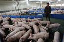 Peste Porcina Africana: Catástrofe y Oportunidad