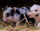 Desempeño productivo de cerdos, Aditivos a base de ácido láurico