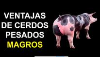 Ventajas de cerdos pesados: Julio Chaves