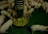 Lechones: Jerarquía y competencia por la alimentación