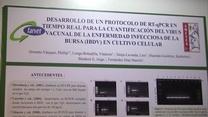 Enfermedad infecciosa de la bursa (IBDV): Phillip Ormeño