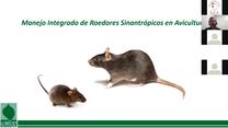 Manejo de roedores en avicultura