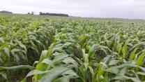 Producción de semilla de maíz variedad mejorada El Cuenqueño (CP-569)