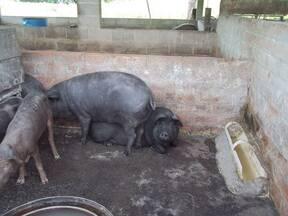 Cerdo criollo tipo chino