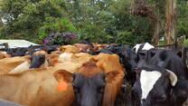 Vacas para ecografias reproductivas