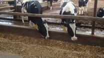Dietas en ganado lechero de alto desempeño
