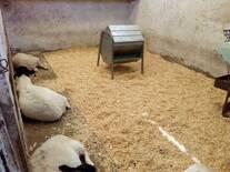 Corderos destetados en recría