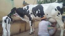 Olaidairydealer - Cow Supplier, Cow Cattle and Buffalo Buying and Selling
