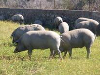 El cerdo ibérico. España.