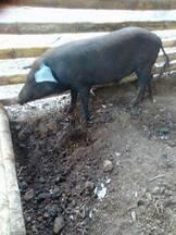 Cerdo Criollo