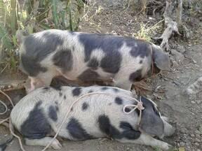 Cerdos criollos manchados de orejas celticas