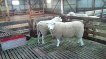 Ganado ovino de lana