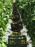 Bell  Pepper   con  programa   VIUSID  AGRO