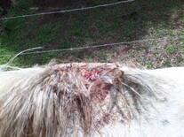 Culebrilla equino 6 años castrado cuarto de milla
