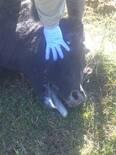 Vaca de segunda cria en buen estado jadeando antes de morir