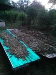 Deshidratación del Naranjillo o Nacedero (Trichanthera gigantea)