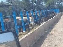 Alimentacion de ganado de engorda