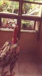 criação de frangos caipira