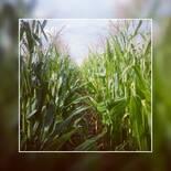 Fertilización sitio-específica de N en maíces tardíos