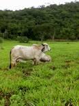 Vaca gyr con Edema subamdibular