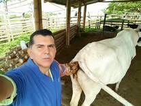 Sincronizando bovinos