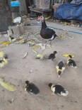 Pata e seus filhotes saudáveis