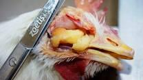 Coriza en aves de 14 semanas