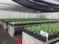 Vivero de aclimatación Centro Nacional de Cultivo de Tejido INTA Nicaragua