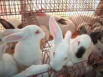 Conejos en engorde