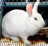 Conejo reproductor.