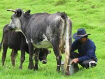 Vaca Criolla Andaluza