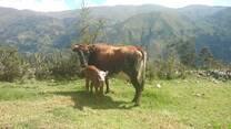 Vaca Criolla con su Ternera Normando por IA