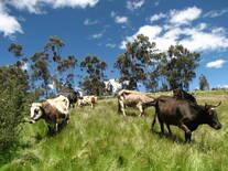 Vacas Criollas en Huasta