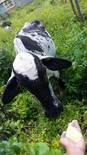 Alimentação de vacas mestiças manualmente