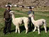 Alpacas fistuladas a nivel del 1er compartimento-Huancavelica