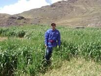 Introducción de Avena variedad tayko sembradas a 4200 msnm