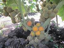 Solanum quitoense L .