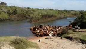 Cruzando el Rio Olimar con 450 vacas de Invernada