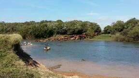 Terminando de cruzar el Rio Olimar a nado con 450 vacas
