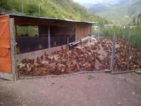 Ensayo de Cria al Pastoreo con 1000 gallinas