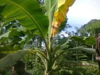 planta con sintomas dela bacteria del moko