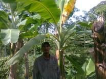 planta con moko bacteriano
