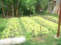 hortalizas traspatio ( lechuga)