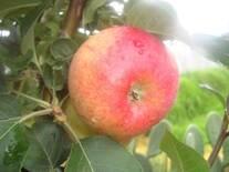 Manzana roja para jugo y consumo en fresco