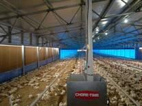 Ambiente controlado. Pollos.