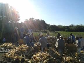 Selección de maíz
