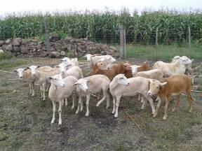 Módulo de ovinos